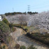 二中の桜 満開です