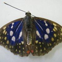 発見!国蝶 オオムラサキ