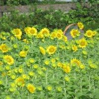 夏!日に向かって咲く花**